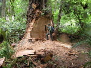 Photo courtesy National Park Service attached: Wildlife biologist Terry Hines stands next to an old growth redwood tree near Klamath that was gutted by burl poachers in 2013.